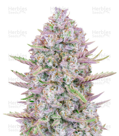 Buy Purple Punch Auto From FastBuds