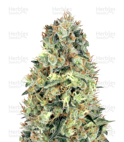 Buy Cali Orange Bud Regular seeds