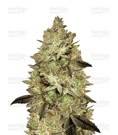 Buy Jacky White feminized seeds