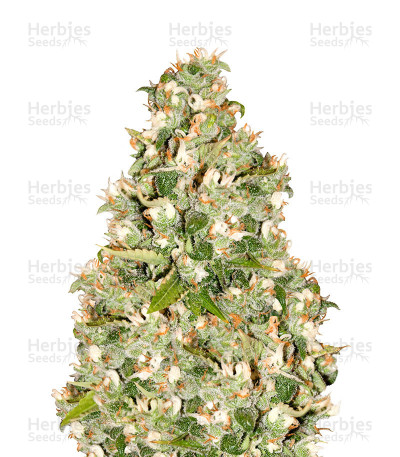 Buy OG 13 feminized seeds