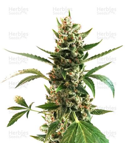 Buy Sideral feminized seeds