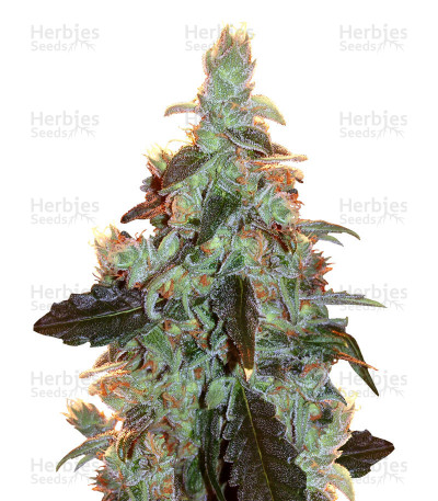 Buy Skywalker Kush feminized seeds