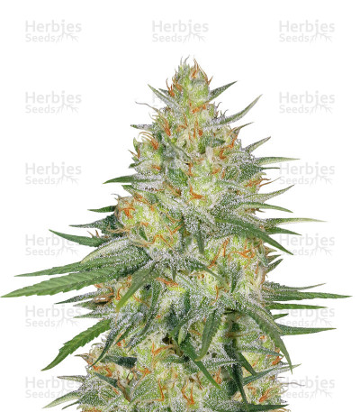 Buy Sweet Cheese XL Auto feminized seeds