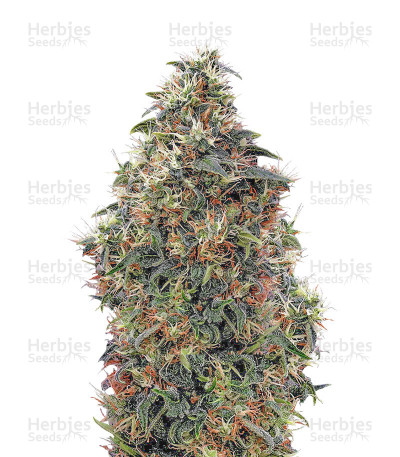 Buy Sweet Mango Auto feminized seeds