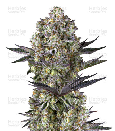 Buy Dos Si Dos 33 cannabis strain by Barney's Farm