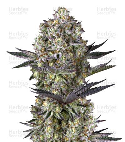 Buy Dos Si Dos 33 cannabis strain by Barney's Farm