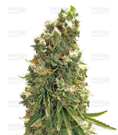 Buy Northern Light X Skunk feminized seeds
