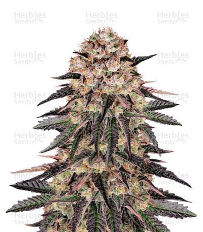 Biscotti Mintz Feminized Seeds (Barneys Farm)