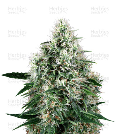Buy Fire OG Kush feminized seeds