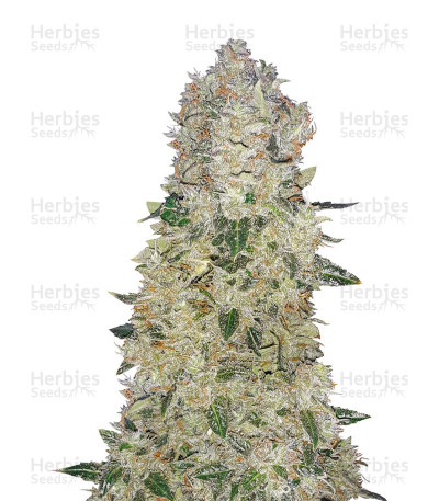 Narcotherapy Auto feminized seeds