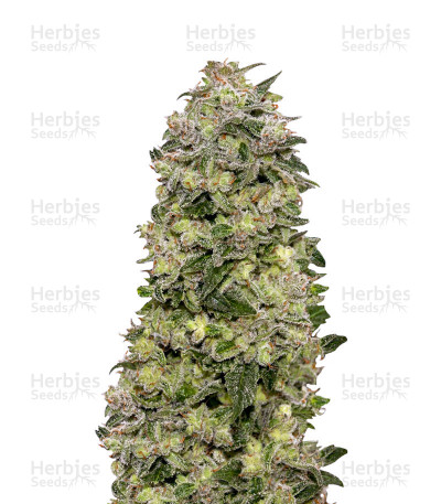 Buy Auto Afghan Skunk feminized seeds