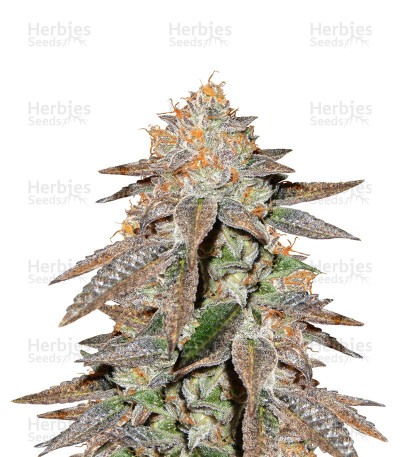 Buy Brain Cake cannabis seeds by Ripper Seeds