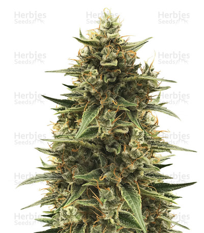Buy CBD 1:1 Silver Lime Haze Autoflower feminized seeds