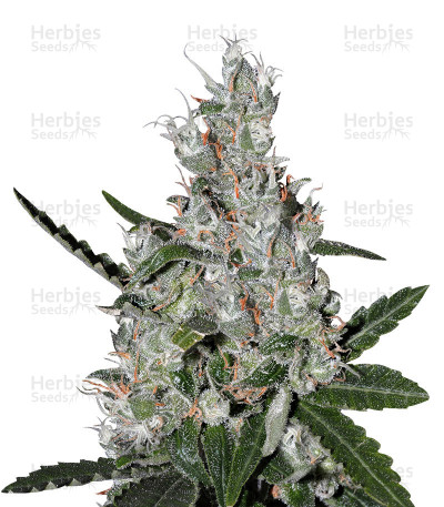Buy Super Lemon Haze x Banana Punch feminized seeds