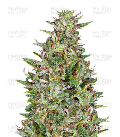Buy Tangie feminized seeds