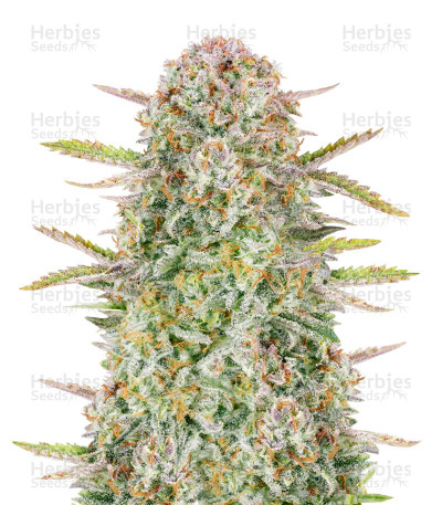 Buy Bruce Banner Auto by FastBuds