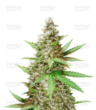 Critical Sour (Female Seeds)