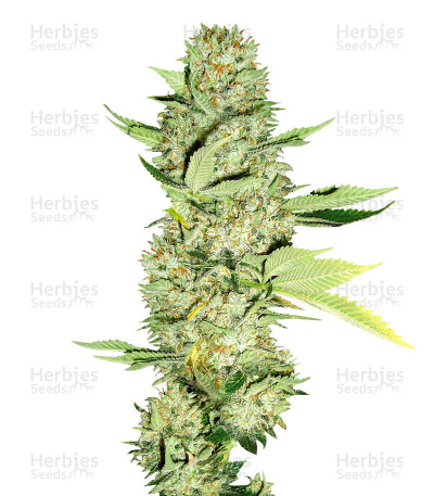 Buy Hash Heaven feminized seeds