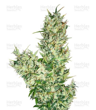 Buy Medicine man Regular seeds