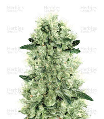 Buy White Haze Regular
