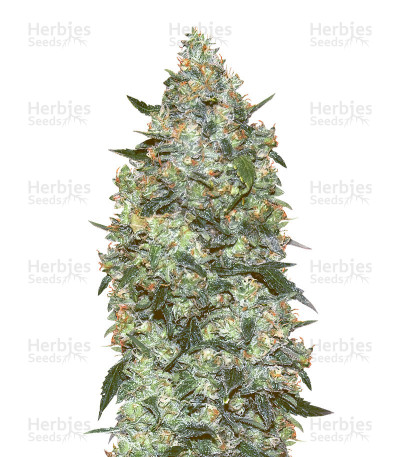 Buy Auto Critical Mass by Advanced Seeds