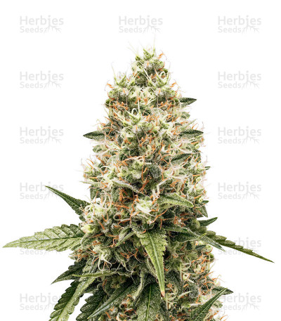 Buy Critical Kush fem seeds
