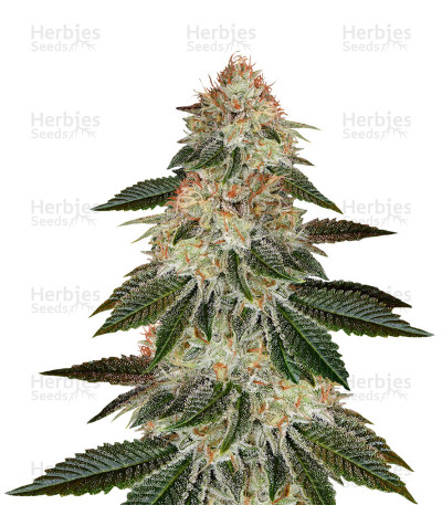 Buy Stardawg feminized seeds