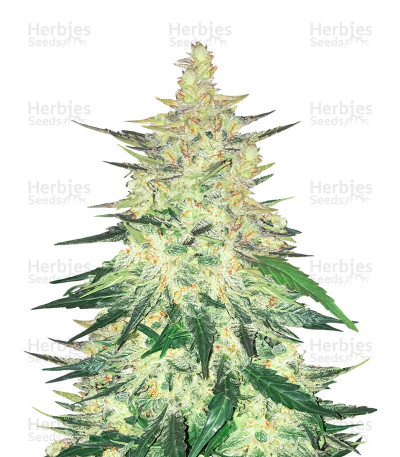 Buy CBD Crack auto feminized seeds