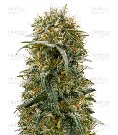 Buy Durban-Thai x C99 feminized seeds