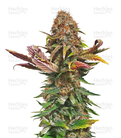 Buy El Fuego Auto feminized seeds
