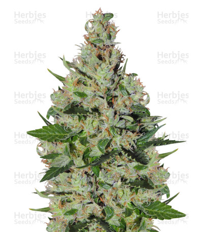 Buy Orange Sorbet feminized seeds