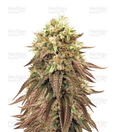 Buy Peyote Purple Regular seeds