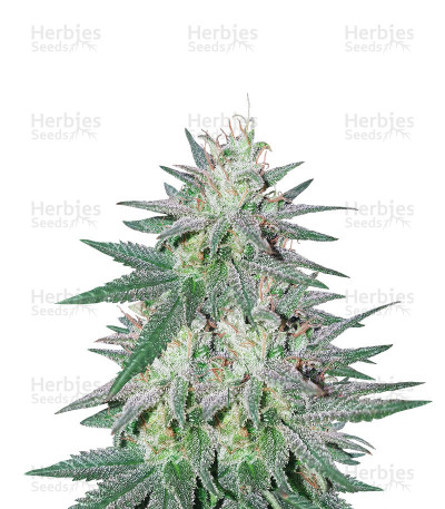 Graines de cannabis Killer Purps (Bomb Seeds)