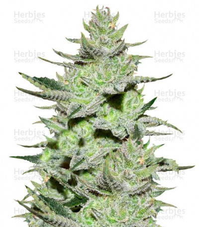 Unknown Kush (Delicious Seeds)