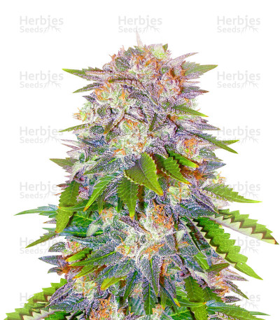 Caramelo Early Version feminized seeds