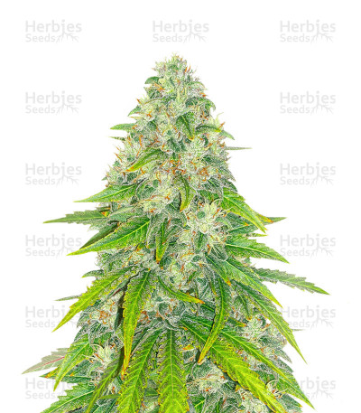 Eleven Roses Early Version feminized seeds