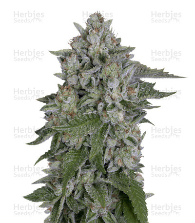 Buy Skywalka Cookies feminized seeds