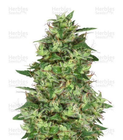 Buy Trippy Gorilla feminized seeds