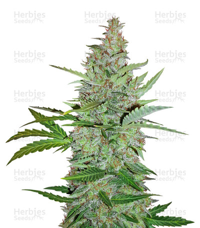 Buy Early Skunk (Early Pearl x Skunk) Regular seeds