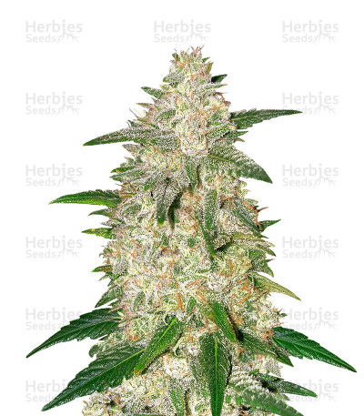 Buy Gelato Auto feminized seeds