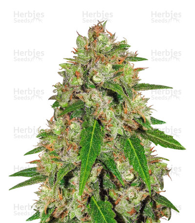 Buy Speed Haze feminized seeds