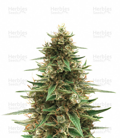 Buy CBD 1:1 Silver Lime Haze (Seed Stockers)