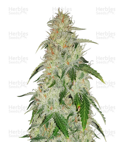 Buy Critical Mass regular seeds (Mr. Nice Seedbank)