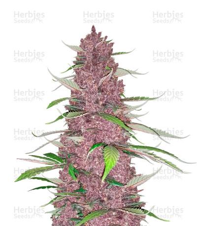 Purple Juice Auto Seeds from Herbies Seeds