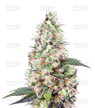Buy Buddha's Sister feminized seeds