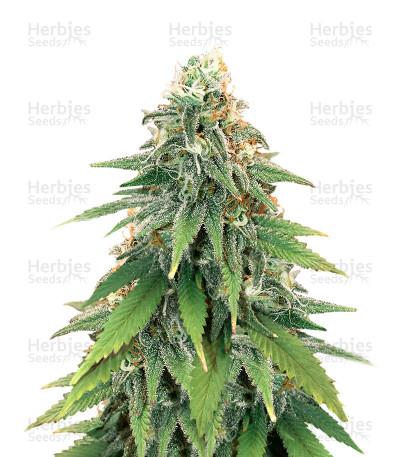 Semillas feminizadas Godzilla Glue#4 (Herbies Seeds)
