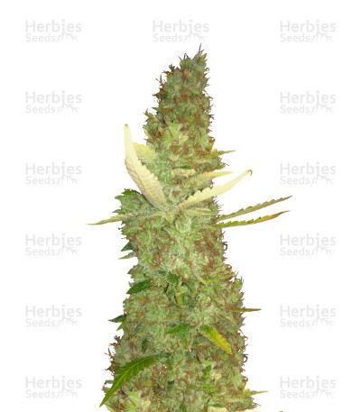 Buy Purple Haze feminized seeds