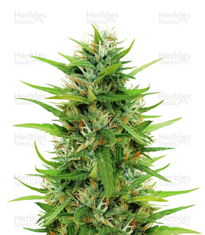 Sapphire Scout (Humboldt Seeds)