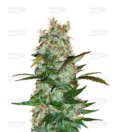Buy Dutch Haze feminized seeds