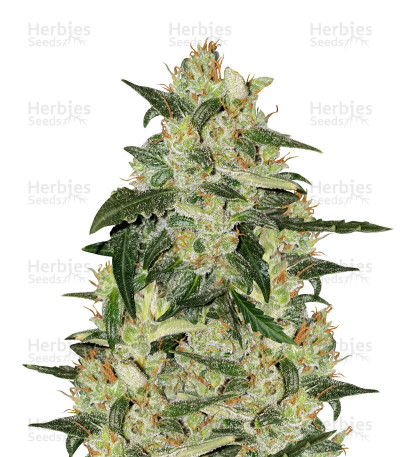 Buy Blueberry 420 Auto (The Bulldog Seeds)